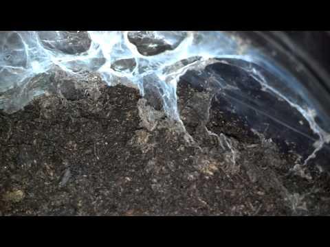 Pterinochilus Murinus (OBT) Sling Feeding