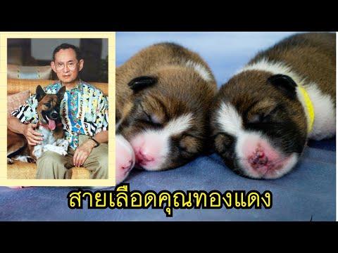 โปรดเกล้าฯผสมเทียมสำเร็จ!#สายเลือดคุณทองแดง สุนัขทรงเลี้ยง ร.๙ (ชมภาพพระราชทาน)