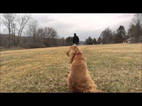 How to Teach Puppy or Adult Dog Recall, Here or Heel command