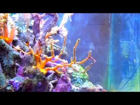 Seahorse - Selection, Breeding, Diseases - Saltwater Tank ReefKeeping Video
