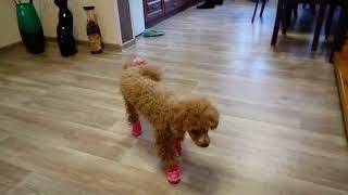 Той пудель,впервые в обуви.