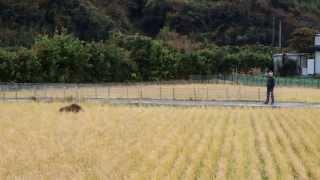 周防大島町で昼間にイノシシを見かけました。 田圃に入ってお米を食べて...