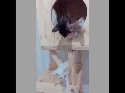 Kucing Unik (Oriental Shorthair)