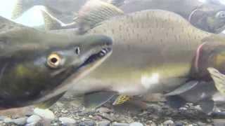A River Reborn: Restoring Salmon Habitat along the Duwamish River