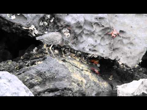 Hunting Lava Heron