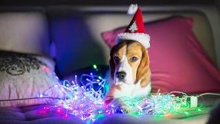 Собака и новогодняя елка. Быть или не быть.