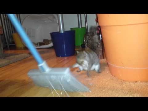 Squirrel fights a broom