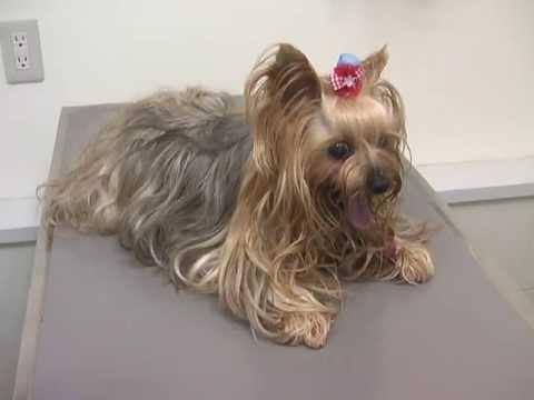 Zapadanie tchawicy u psa: objawy, leczenie i rokowania
