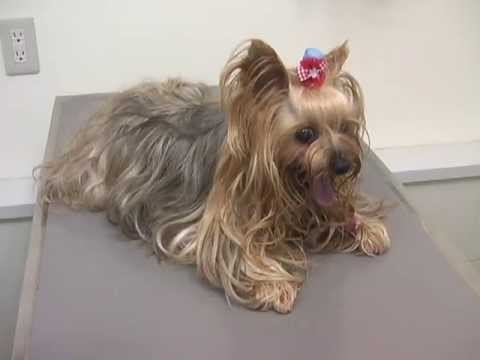 Yorkie Cough Tracheal Collapse In Dogs Veterinarian