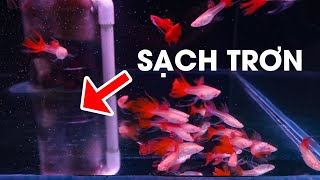 Bí quyết nuôi cá 7 màu KHÔNG CÓ PHÂN CẶN