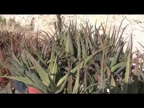 Καλιέργεια Aloe Vera Barbadensis Miller
