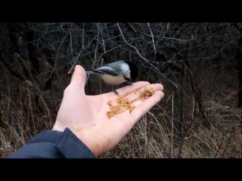 Hand Feeding Black-capped Chickadees
