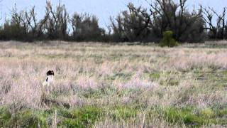 English Springer Spaniel Field Trial, Puppy Stake