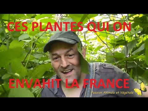 cette plante agressive qui a envahie la France, une véritable catastrophe.