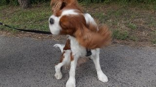 Cavalier King Charles Spaniel - Adventurous Saturday Afternoon Walk - [paca]