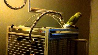 Cutest Indian Ringneck Sounds by Kiwi