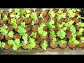 Grow Chrysanthemum/ Chandramallika plant in hanging pot (with English subtitle)