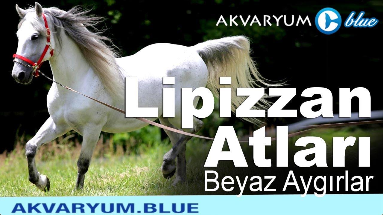 Lipizzan Atları - Beyaz Aygırlar - Belgesel