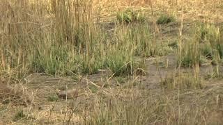 Tiger on Prowl...... Alert calls of Peacocks at Bandhavgarh