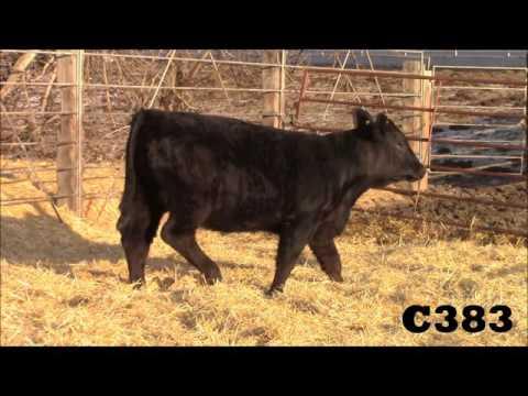 C383 Heifer
