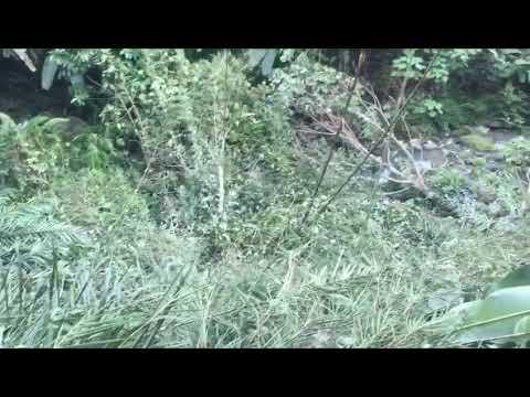 Sg ara pokok diterbang dan buang d tepi sungai. 27/8/17