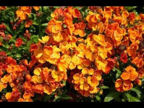 Лакфиоль цветущая средиземноморская гостья на клумбе