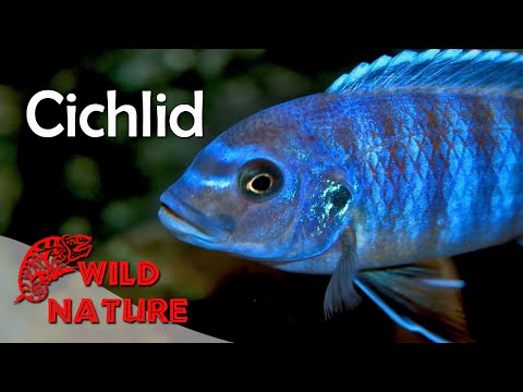 Lake Malawi Cichlids   WILD NATURE