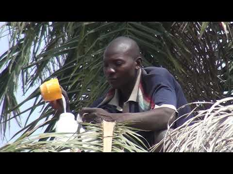 Tapping A Palm Tree