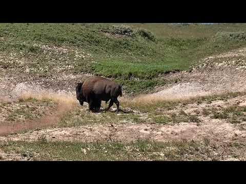 Bison/buffalo in Yellowstone