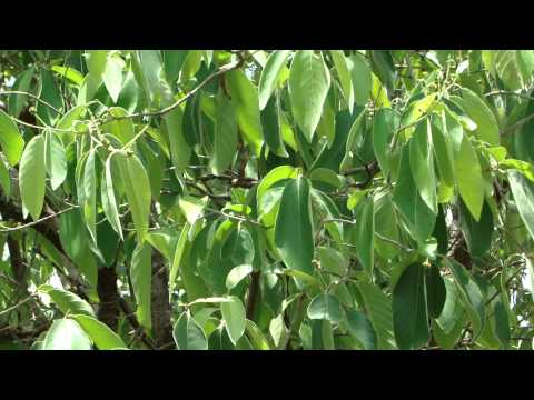 Herbal Teas for Heart Blockages. Part-3318.  © Pankaj Oudhia