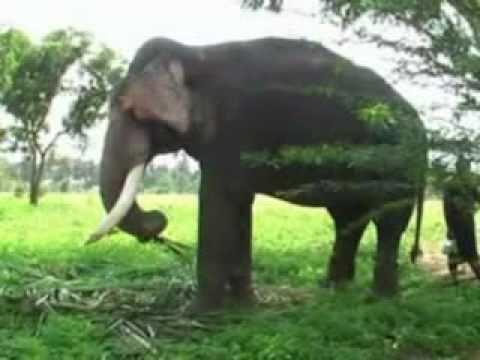 Wild Elephants Fighting with Kumki Elephants