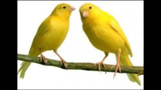 Lagu anak   Burung Kenari