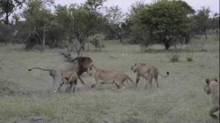 Southern Pride shows the Kruger Male who's boss while on safari gam...