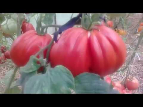 Обзор томата Инжир | выращивание | помидоры | томатов | теплице | теплица | рассада | томаты | сортов | огород | лучшие