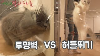 (ENG SUB)Cat Invisible Wall Challenge But Became Cat Hurdle Game! What Happen!!
