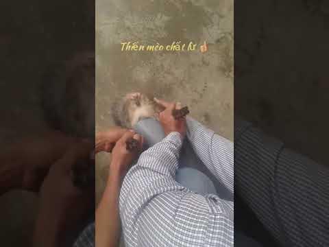 Thiến mèo đẳng cấp chất lừ | 24/07/2019 chia buồn cho chú mèo hàng xóm