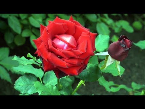 Розы в сибирском саду
