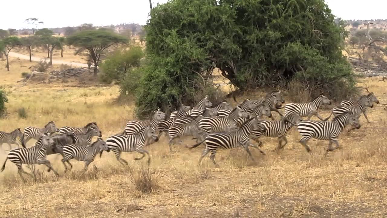 Zebra Stampede At Tarangerie National Park 2011 Youtube