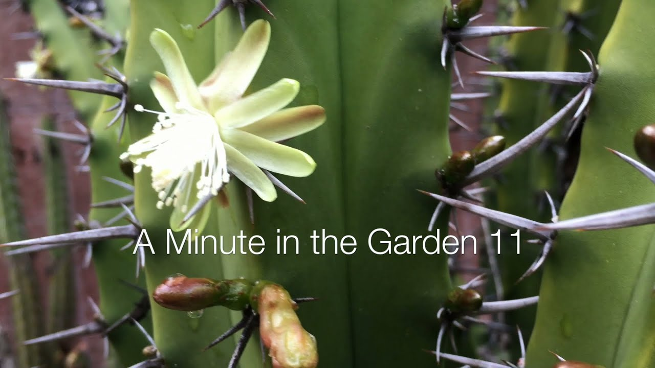 White Cactus Flower A Minute In The Garden 11 From A Gardeners