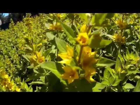 Вербейник (Лизимахия) желтого цвета - многолетник сем-ва Первоцветные. Как выглядит желтый вербейник