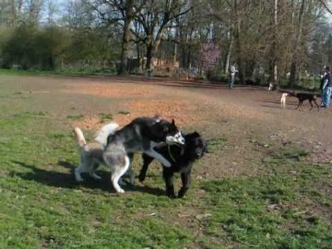 Newfoundland D'Artagnan Playing Rough at the Dog Park