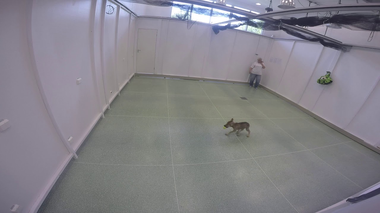 Watch Wolf Puppies Play Fetch