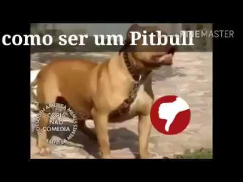 Como Ser Um Pitbull Memes South America Memes 2019 Youtube