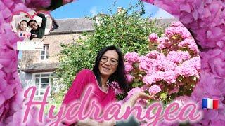 ดอกไฮเดรนเยีย ในสวนหลังบ้านเอมี้ก็มีนะค่ะ มีเยอะด้วยค่ะ