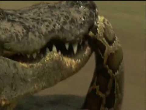 Crocodile vs Python - Croc destroys big python.
