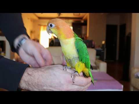 Caique Parrot Training Session