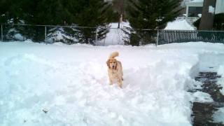 Phoebe (golden Retriever Snow Funny Playing) Dog Funny Dogs Playing Dogs 101