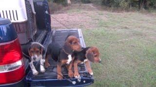 Benson's Kennel - Puppy Training (2013)