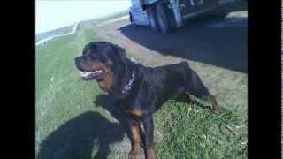Bernat's Hoss Von South Dakota In A Rottweilers Agility.