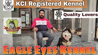 Beautiful Siberian Husky At Eagle Eyes Kennel Patiala | Import Husky In Punjab India